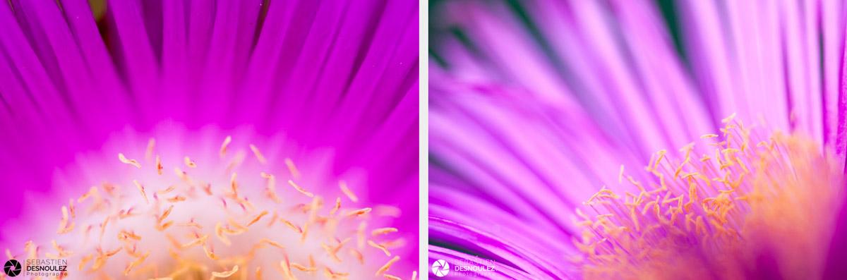 <strong>Pistils & Co<span><br /><small><figcaption>Photos de pistils de fleurs de Carpobrotus photographiés en macro parSebastien Desnoulez</figcaption><small><br /><b>voir en plein écran</b></span></strong><i>→</i>