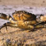 Attaque de crabe à Plougreskan - Photo : © Sebastien Desnoulez photographe d'ambiances et d'architecture