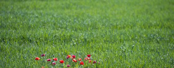 Coquelicots dans un champ de blé - Photo : Sebastien Desnoulez photographe d'ambiances et de paysage