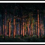Embrasement des troncs d'une forêt par le soleil couchant - Photo : Sebastien Desnoulez photographe d'ambiances et de paysage