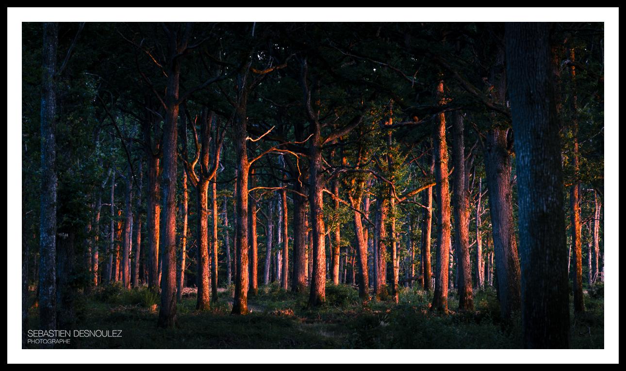 Forêt au soleil couchant